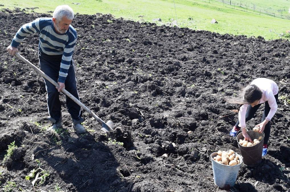 Älterer Mann und junge Frau beim Kartoffeln ernten